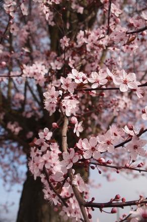 cherry-blossom-444402_640