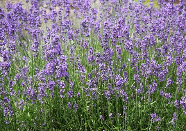 lavender-1440303_640.jpg